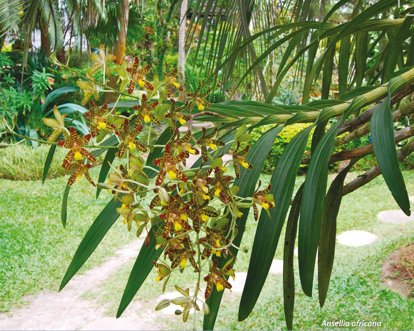 Orchidées du Gabon