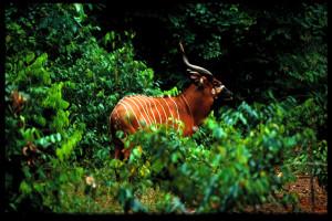 Antilope Bongo Photo ANPN