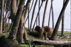 Eléphant sur la plage au parc national de Loango.