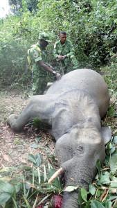 Constat d'un éléphant abattu au Parc National de Moukalaba-Doudou.