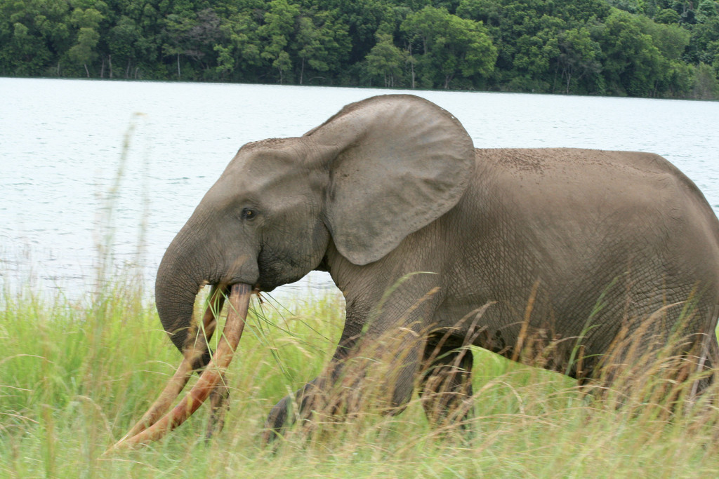 Buste d'éléphant à Wonga-Wongué.