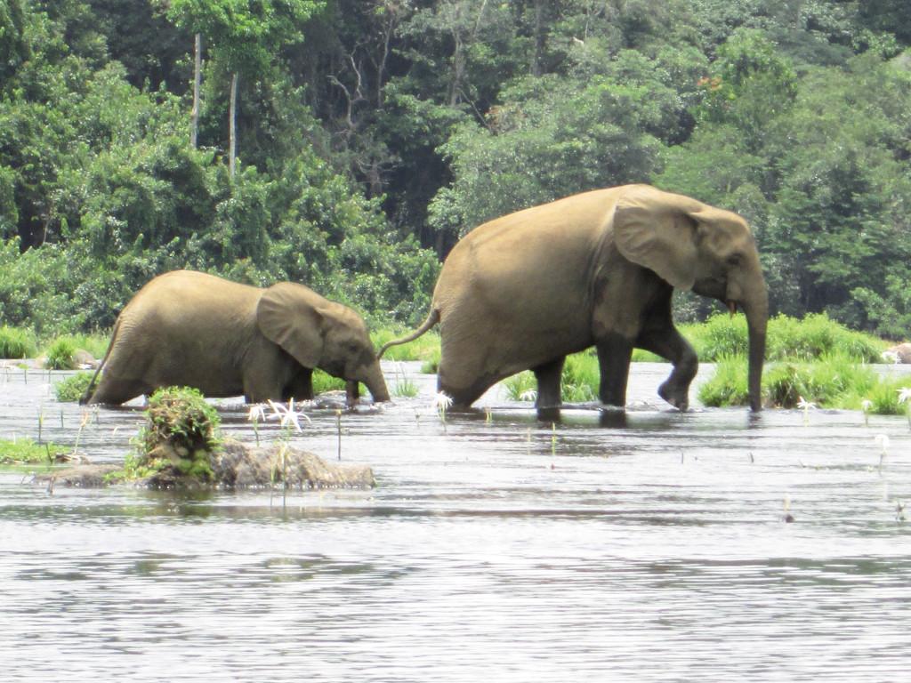 Eléphants traversant un cours d'eau.