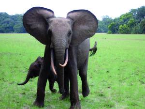 Une femelle protégeant son petit.