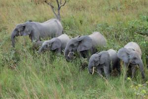 Famille d'éléphants en alerte.