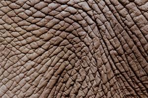 Détail de la peau d'un éléphant