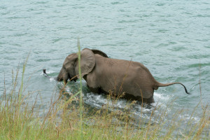 Baignade d'un éléphant