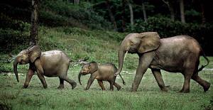 Groupe d'éléphants à Wonga-Wongué.